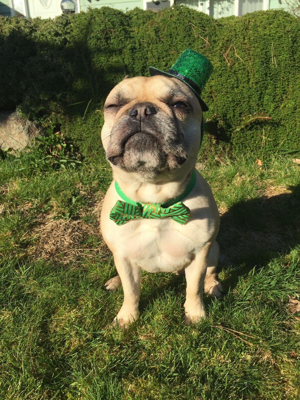 Happy St Patrick S Day From Roxy The French Irish Bulldog