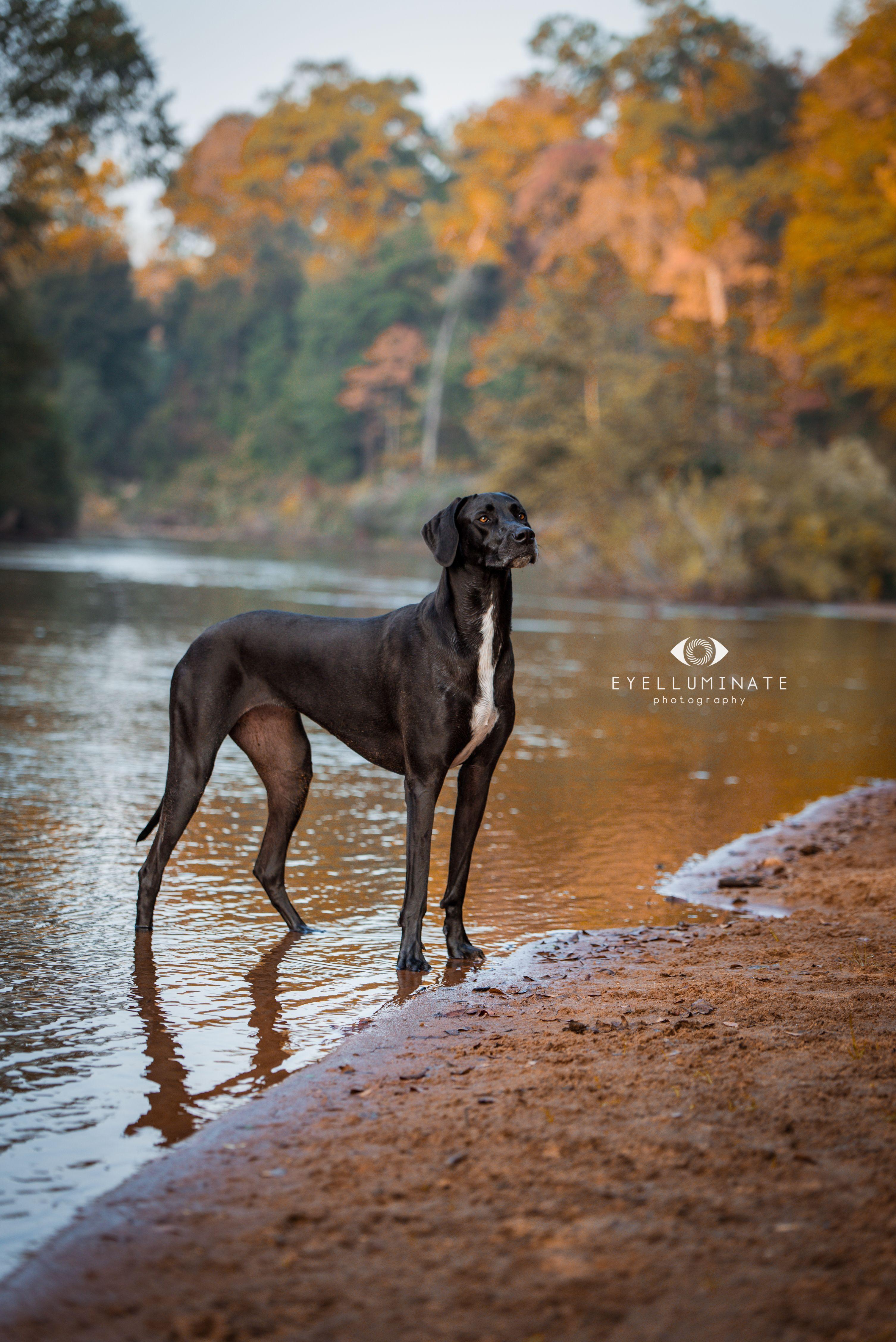 1yearold Great Dane dog stands in Chattahoochee River
