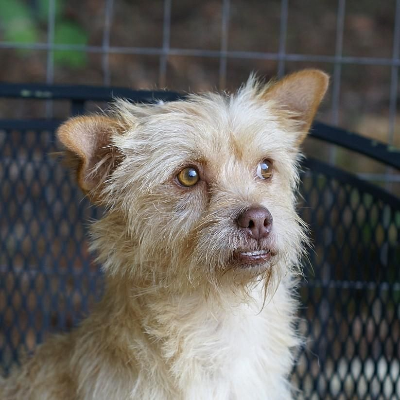 Toby Is An Adoptable Cairn Terrier Dog In Greenville Sc Toby Was