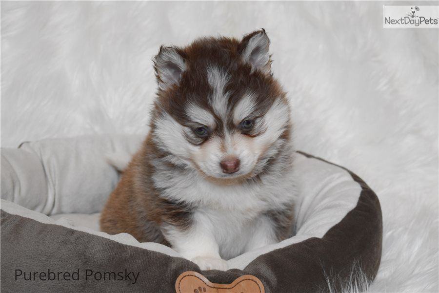 Litter Of 7 Siberian Husky Puppies For Sale In Kansas City Mo