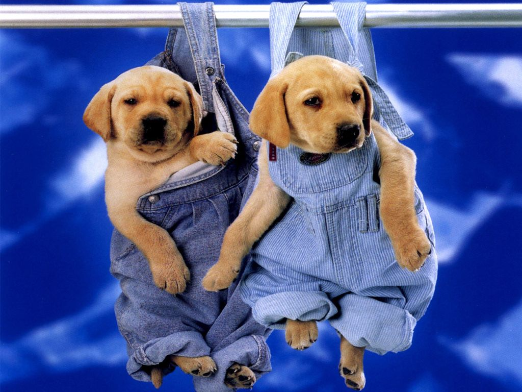 funny pictures of lab puppies | cute puppies labrador wallpaper