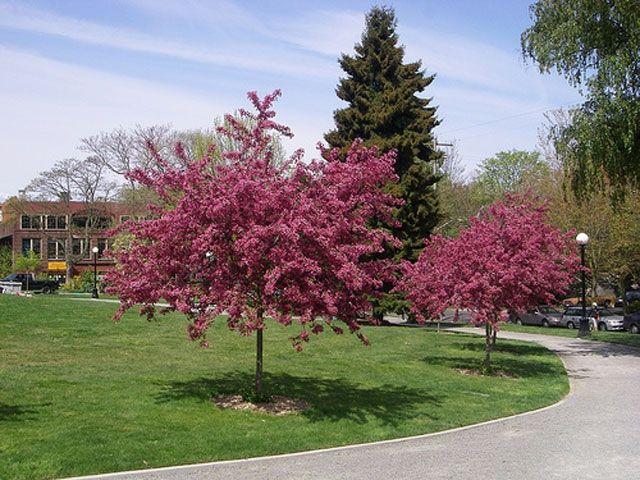 Hawthorn Paul S Scarlet Tree Definitely Getting This One Flowers In Spring Berries In Fall Hawthorn Tree Ornamental Trees Planting Shrubs