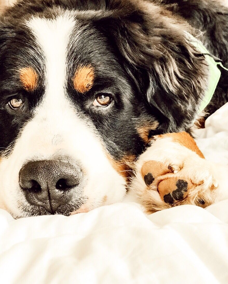 Bernese Mountain Dog Bernesemountaindog With Images Dogs And Puppies Dogs Cute Animals