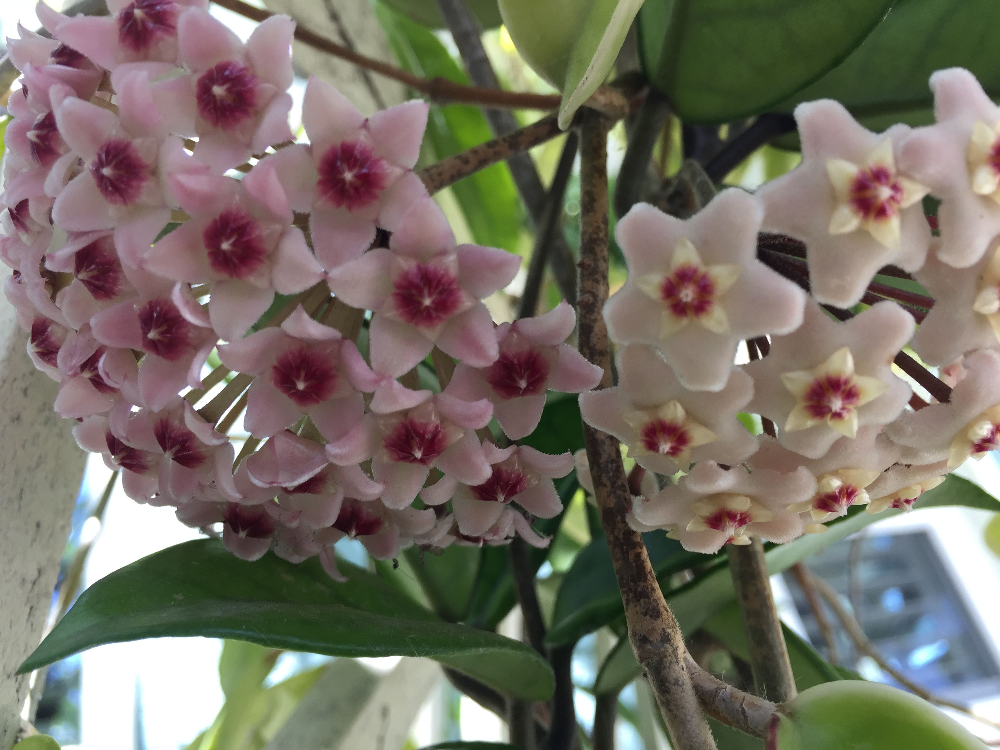 Hoya cagayanensis plant waxplant cutting with leaves unrooted