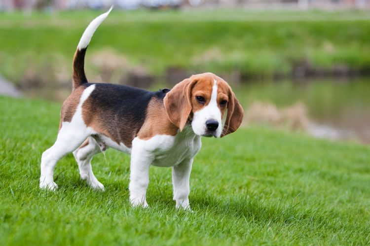 Beagle Puppies For Sale Cute Animals Cute Baby Animals Cute Dogs