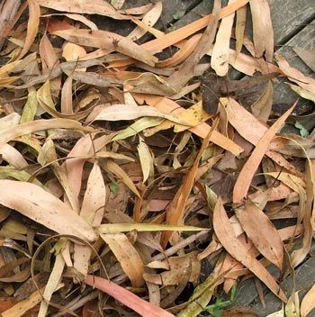 Dry gum tree leaves. Leaf images, Parts of a plant