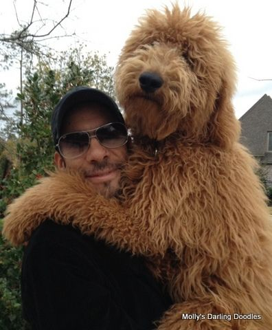 image result for types of goldendoodle haircuts cute large goldendoodles goldenacresdogs com