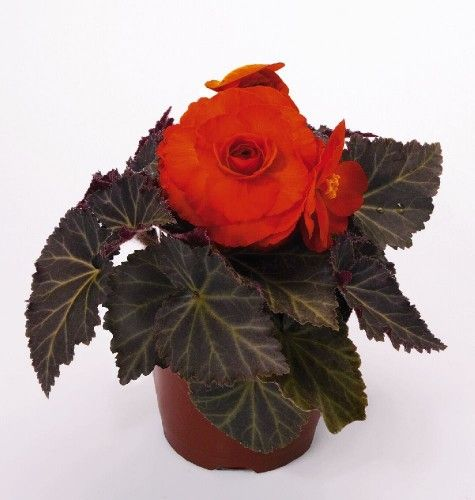 Begonia Nonstop Mocca Deep Orange Pellets Tuberous Begonia Begonia Perennial Vegetables