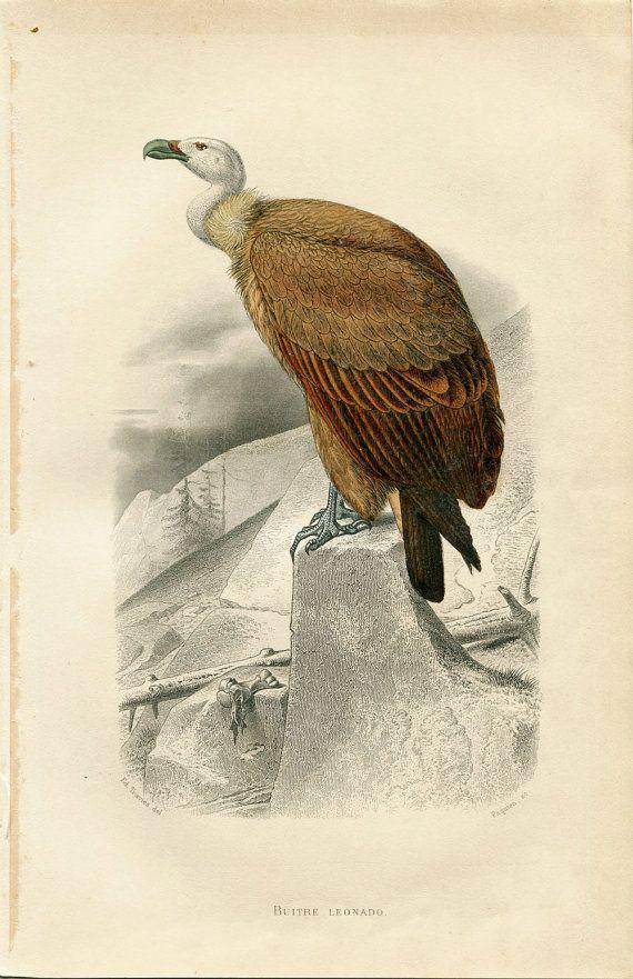 Griffon Vulture Antique Birds Print Original French Engraving Birds Of Prey Buffon Natural History Bird Prints Bird Illustration Animal Painter