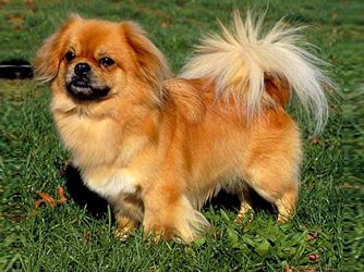 Tibetan Spaniel Pictures Information Training Grooming And Puppies Tibetan Spaniel Dog Breed Info Pekingese Dogs