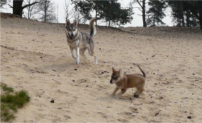 TAMASKAN HUSKY/TAMASKAN DOG