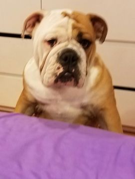 Bulldog Puppy For Sale In Linden Nj Adn 22492 On Puppyfinder Com
