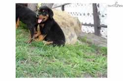 Rescue Puppies Los Angeles Top Quality Rottweiler Puppies For Adoption Rottweiler Puppies Puppy Adoption Rescue Puppies