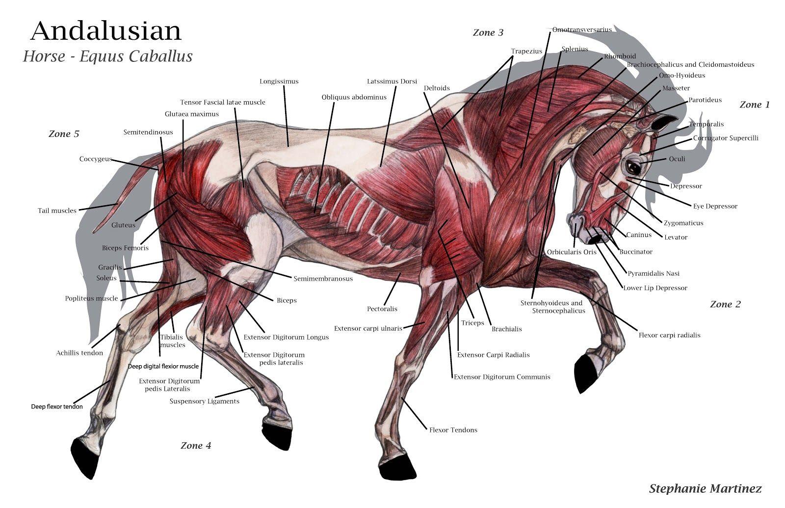 horse anatomy diagram muscles 4l60e transmission wiring model google search 動物 哺乳類 pinterest