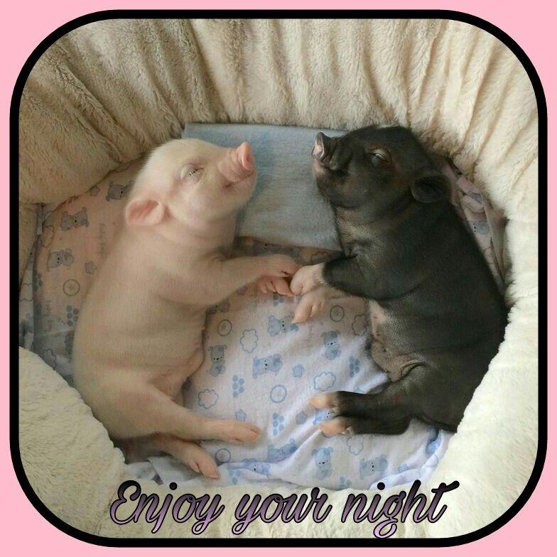 Goodnight Cute Baby Pigs Cute Baby Animals Cute Animals