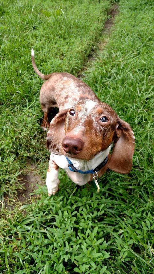 Adopt Brody On Adoptable Dachshund Dog Pet Adoption Cute Animals