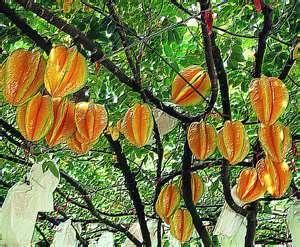 Star Apple Fruit Plant