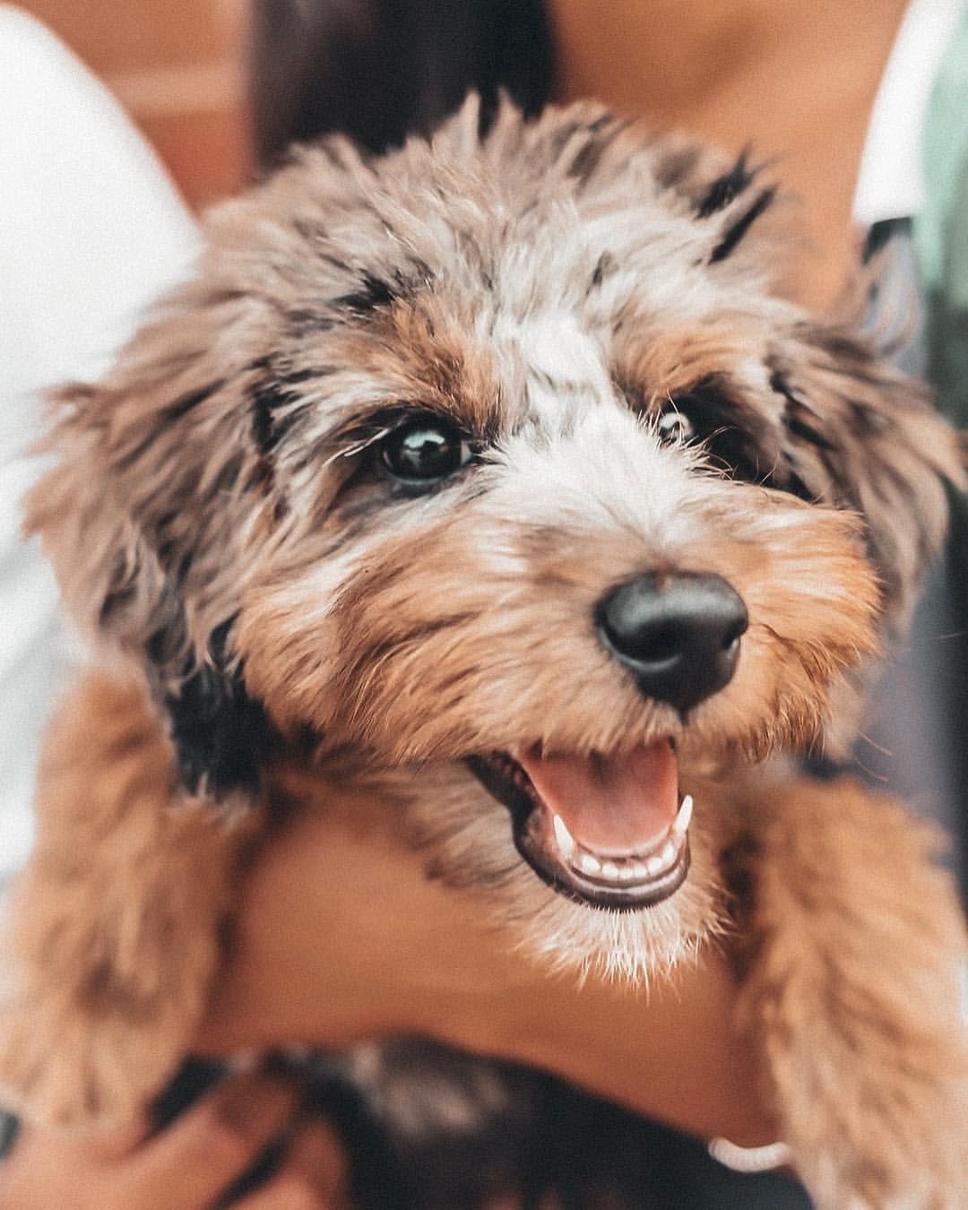 Theodore The Doggo On Instagram Is An Australian Shepherd Poodle