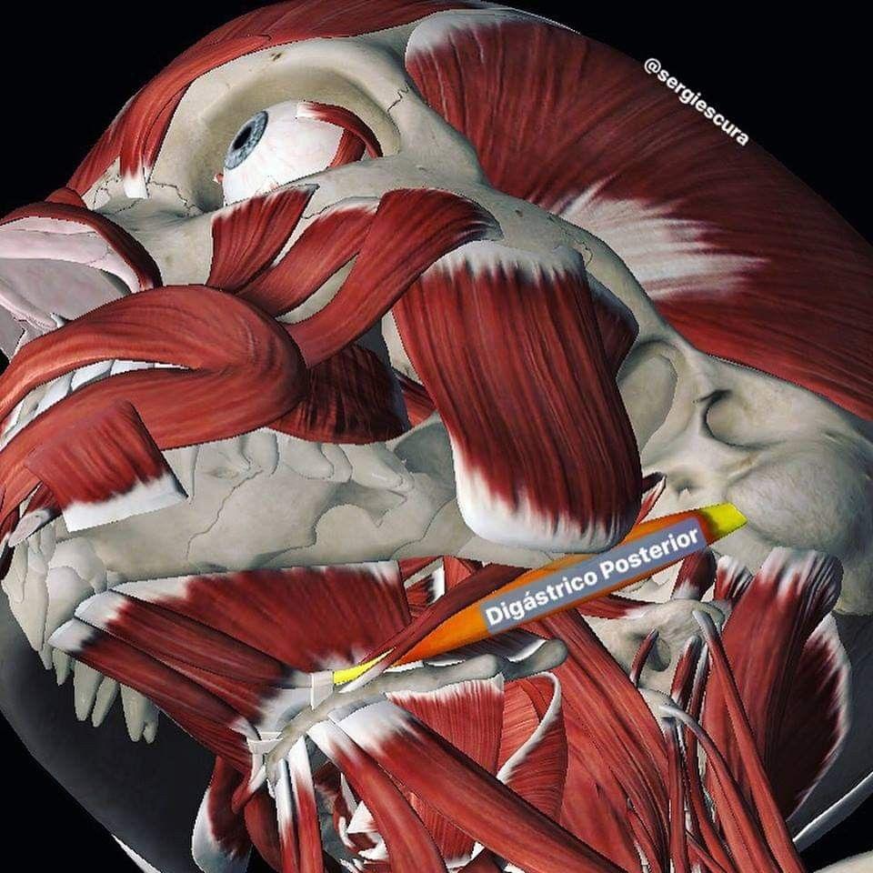 Pin Von Titica Manole Auf Anatomy Gesundheit Und Fitness Anatomie Gesundheit