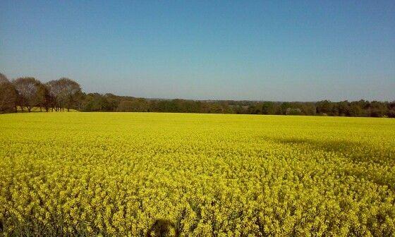 21 avril 2015 champ de colza