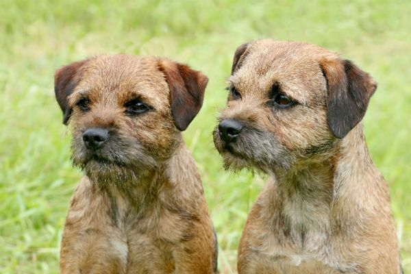 The Border Terrier Is Tough In The Field And Affectionate In The