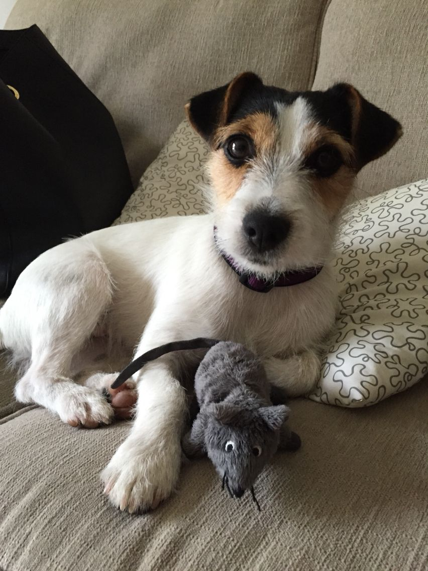 Tuna And Her Ikea Mouse Jackrussell With Images Cute Animals
