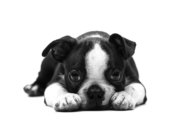 Pin By Sirlene Leal Andrade On My Favourite Png Puppys Kittys And Animals Boston Terrier Terrier Dog Background