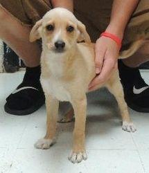 Adopt Blondie On Petfinder Mountain Cur Dog Retriever Dog Adoption