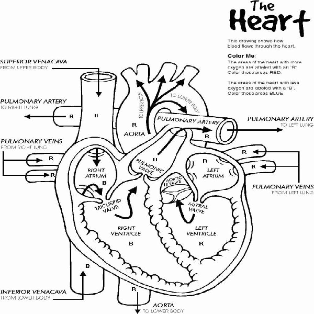 Human Heart Coloring Page | crayola.com | 1024x1024
