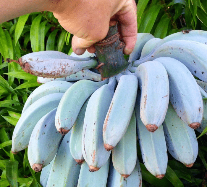 These Incredible Blue Java Bananas Taste Just Like Vanilla Ice Cream Preparednessmama Banana Vanilla Ice Cream Healthy Teas