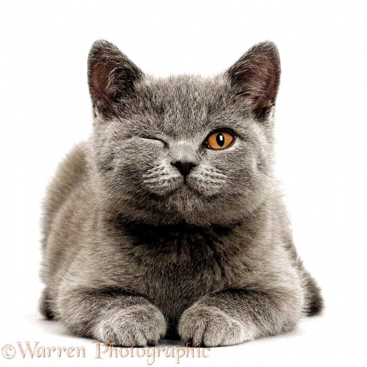 Blue British Shorthair Kitten Winking On Grey Background Photo Wp42211 New Backgrounds In 2020 British Shorthair Kittens British Blue Cat Chartreux Cat