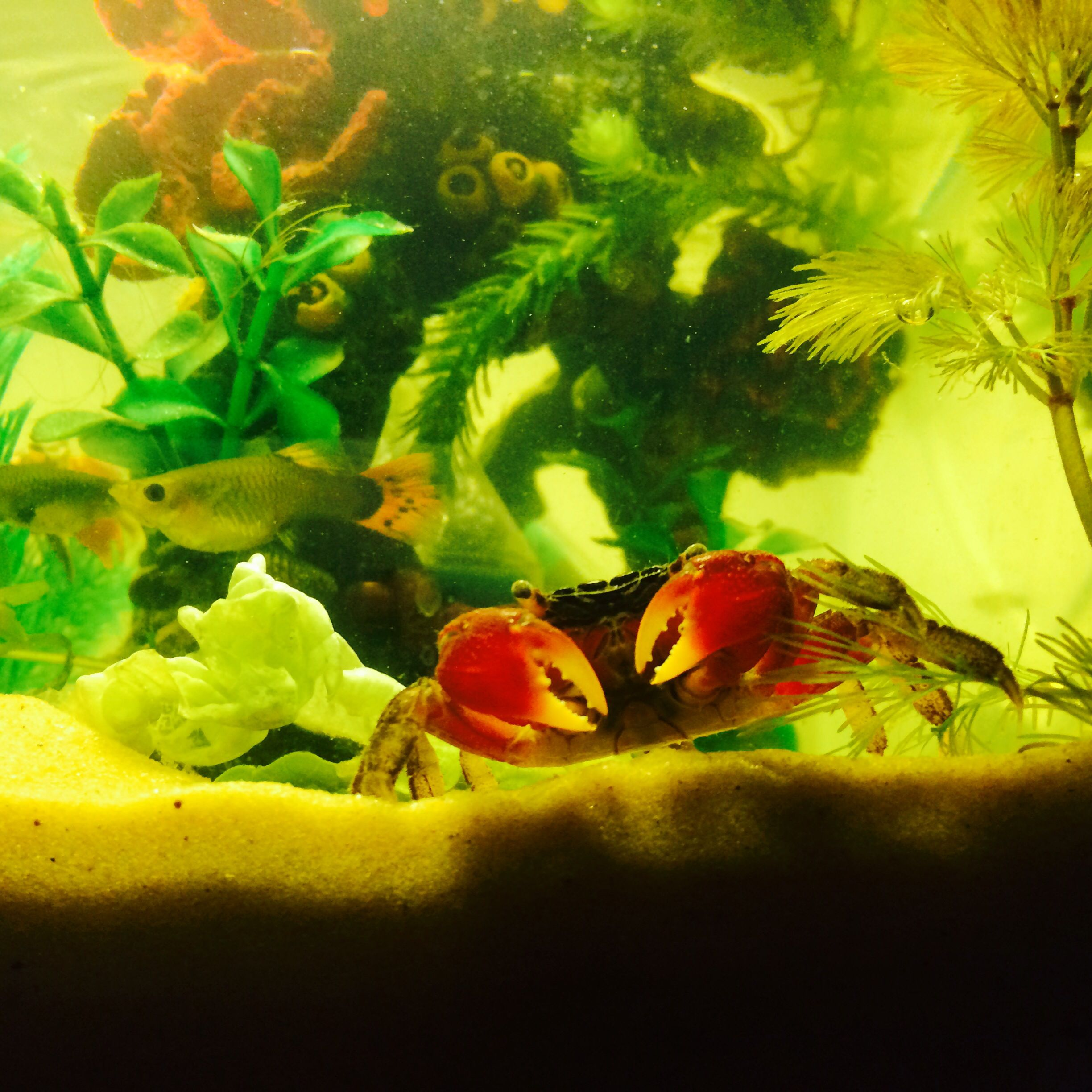 Some Thoughts About My Red Clawed Crab Tank