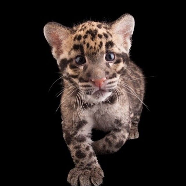 A nineweekold clouded leopard at the Columbus Zoo. His