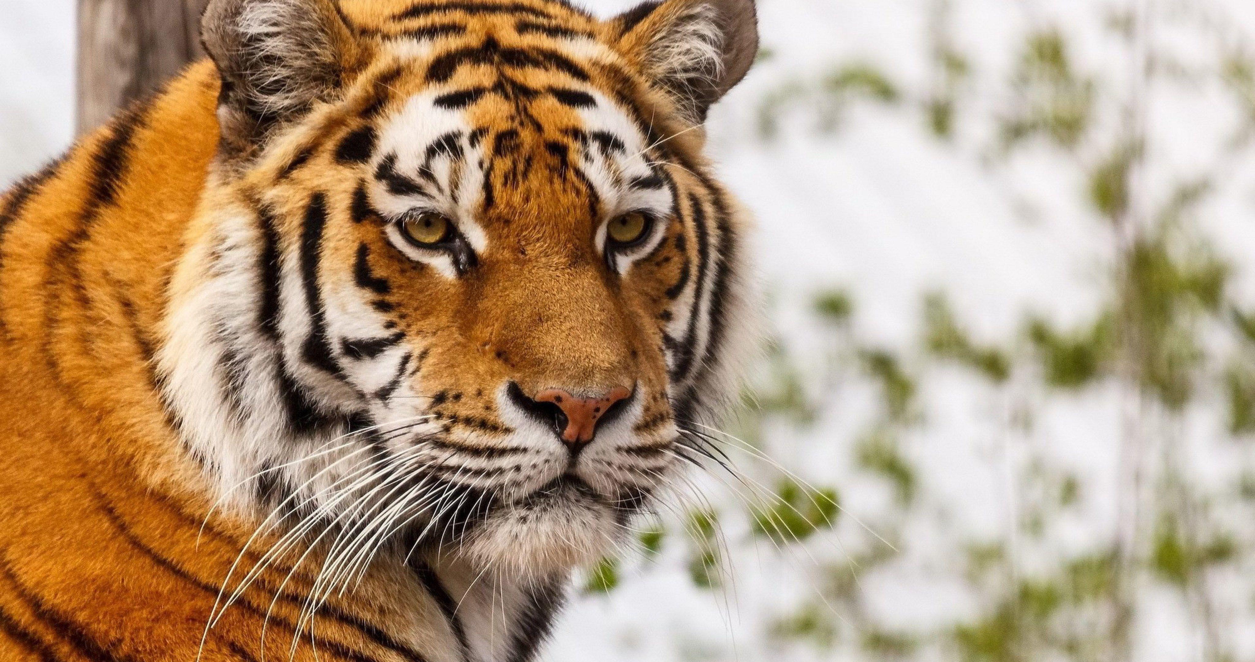 Big Wild Cat 4k Ultra Hd Wallpaper Wild Cats Tiger Images Cats