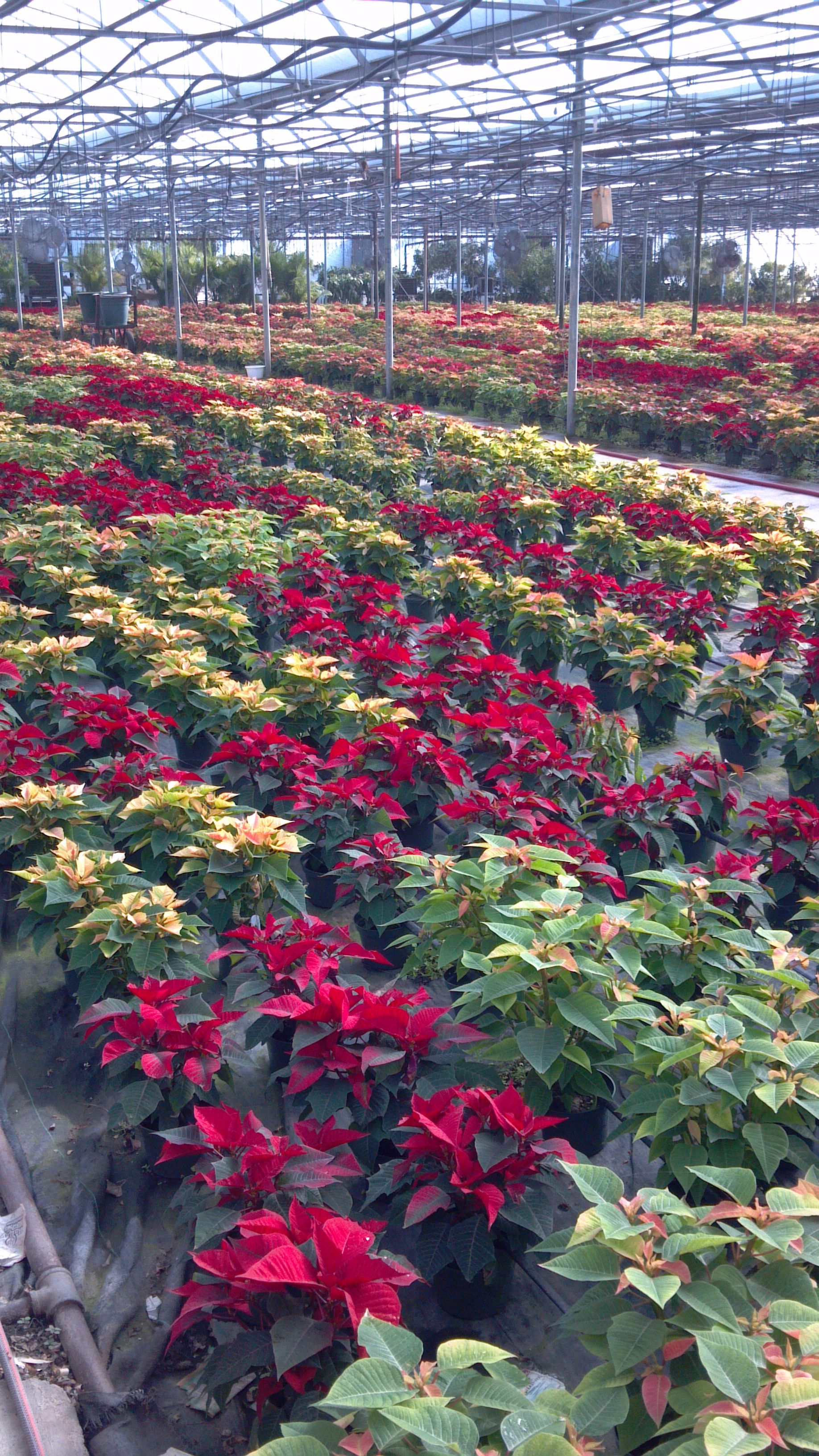 Johnston's promotional Poinsettia Crop is being shipped out this week.