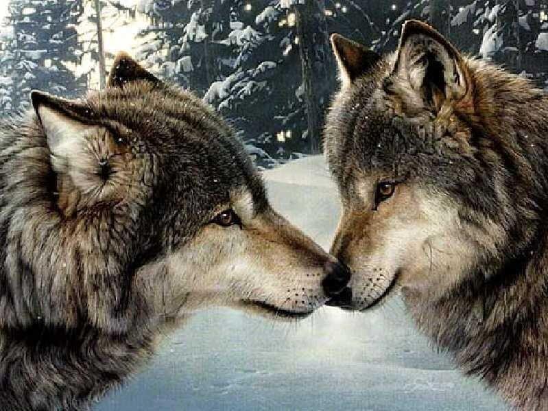 wolf - Google-søk