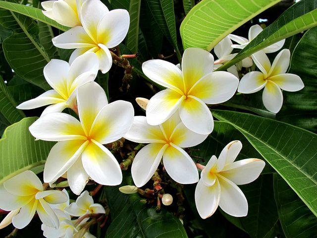 Plumeria Or Frangipani And Ghosts Plantas Con Flores Plantas Flores