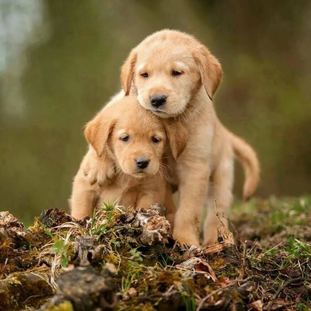 puppies puppy dog dogs puppylover puppieslovers