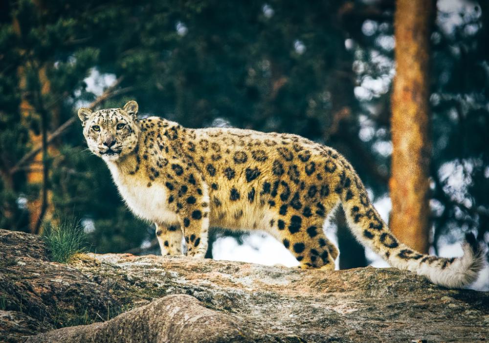 Hewan Pemangsa Puncak Kucing Besar Macan Tutul Salju Kucing