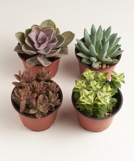 4 Inch Assorted Succulent Plant Collection Live Succulents Potted Succulents Bulk Succulents Wh