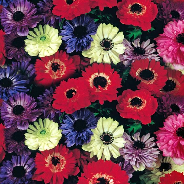 Anemone St. Brigid - 20 flower bulbs buy online order now