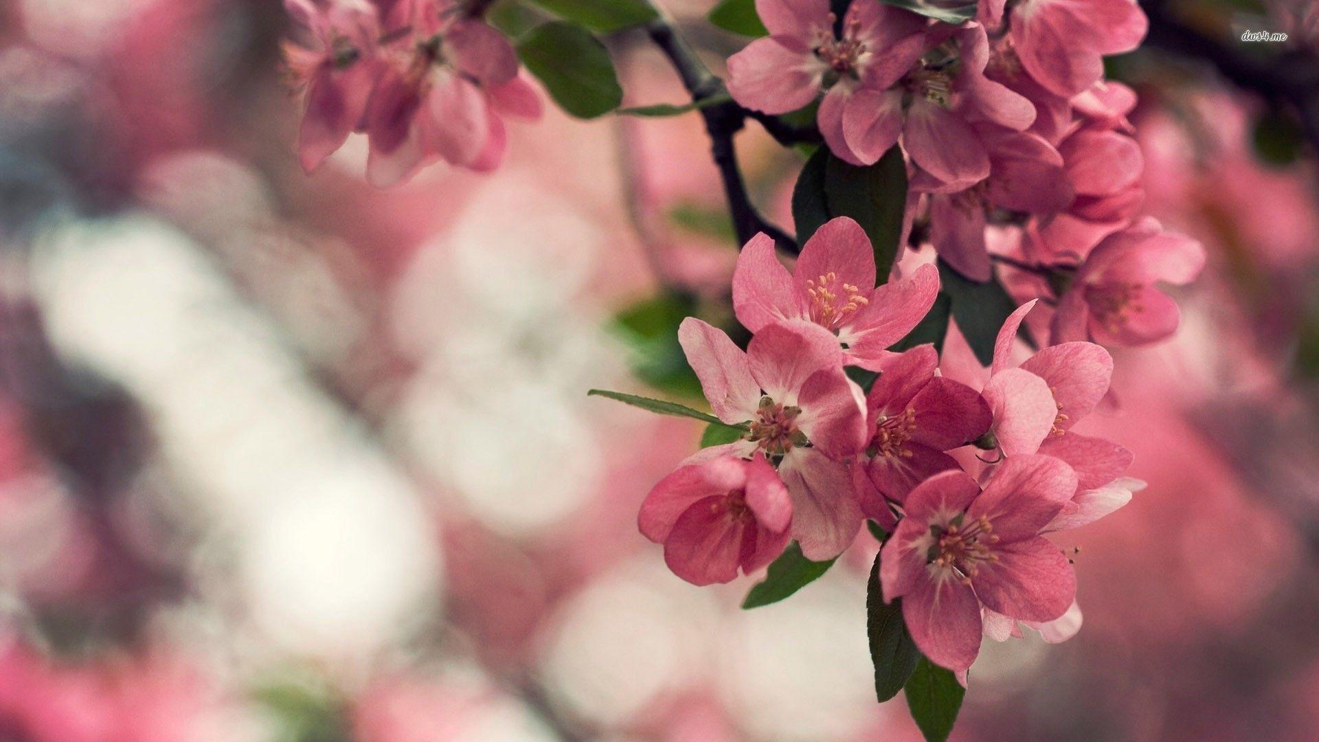 sakuraflowerscherryblossombranchbudspetalspinkwhitespring