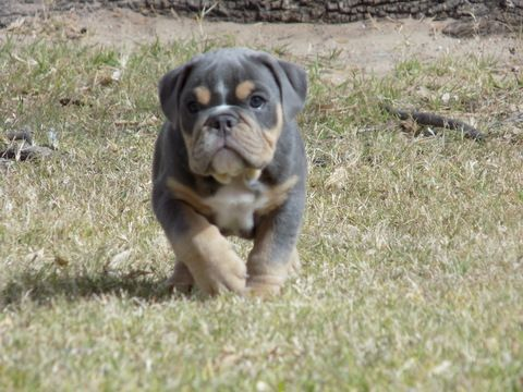 Litter Of 3 Bulldog Puppies For Sale In El Paso Tx Adn 24615 On