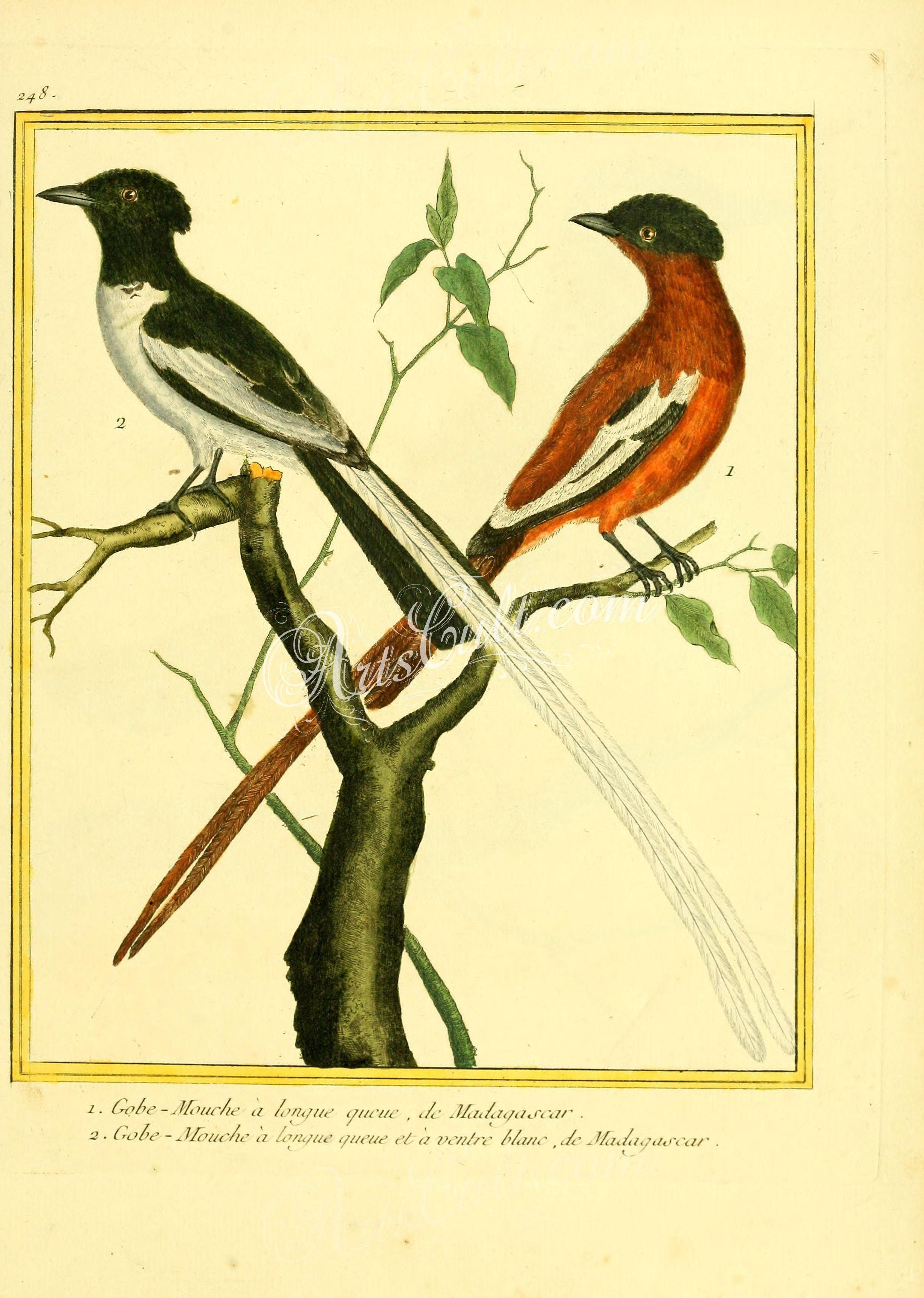 Birds Malagasy paradise flycatcher botanical floral botany