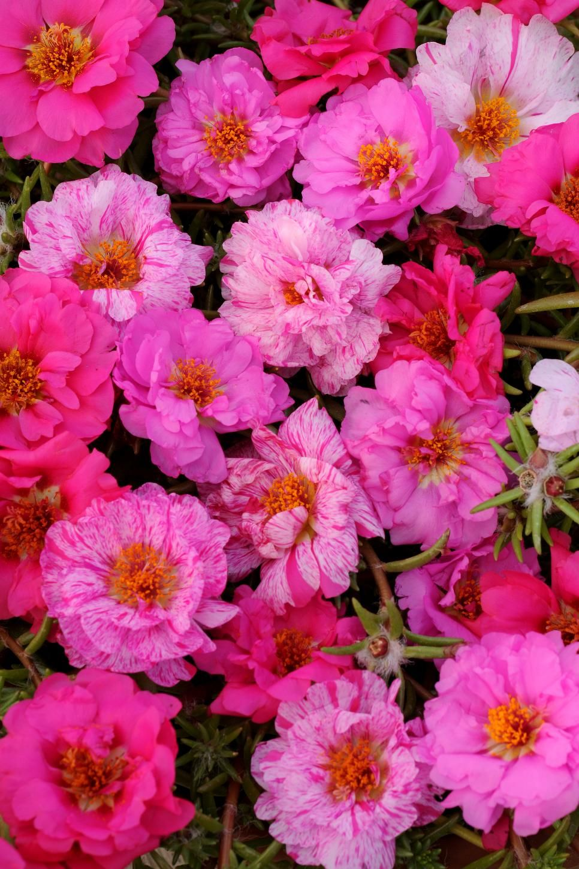 Favorite summer blooming annuals happy trails seeds and flowers 15 favorite summer blooming annuals izmirmasajfo