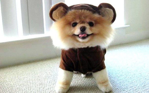 Image result for Dogs dressed like bears