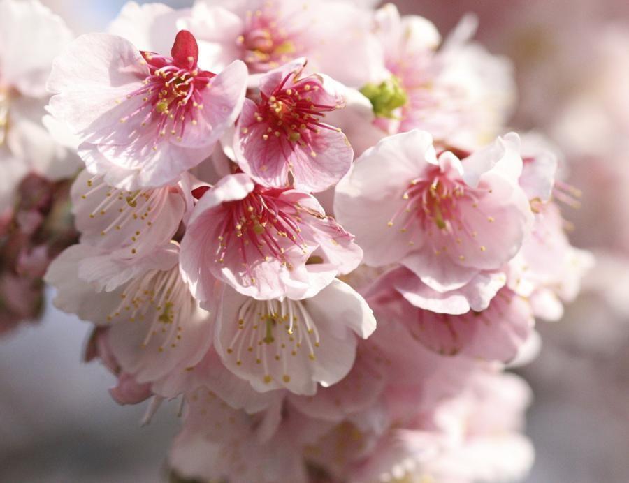 Plum blossom (Prunus mume) National Flowers of the World