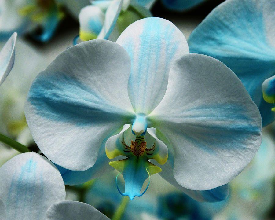Blue Orchid Photograph  - Blue Orchid Fine Art Print