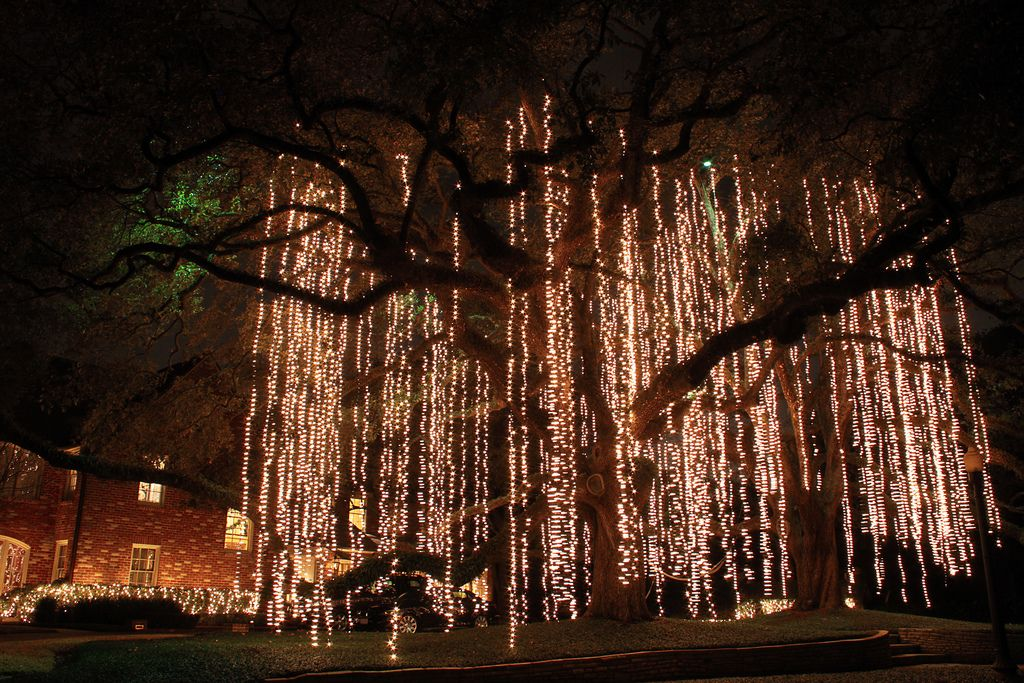 Christmas Lights Hanging Like Spanish Moss From A Live Oak Tree In River Oaks