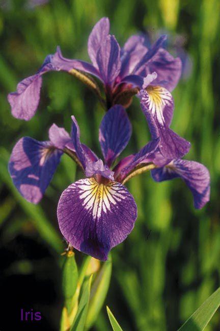 Iris Year Round Blue Flag Iris Iris Versicolor Plants